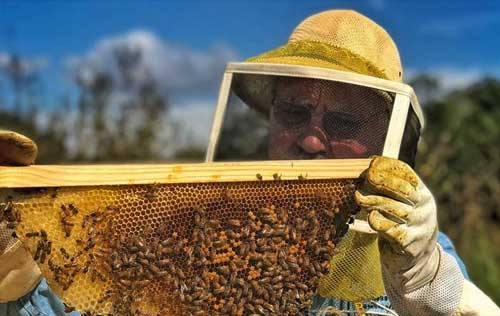 Beekeeper holding frame covered with honey bees.